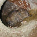 Kanal-Ratte
